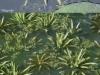Krabbenscheer (Stratiotes aloides)