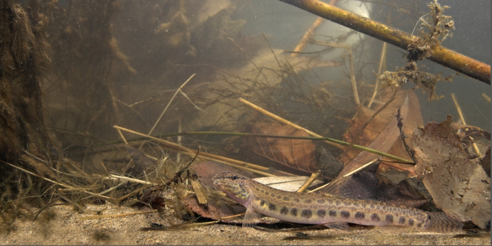 Foto van een kleine modderkruiper onderwater in zijn habitat; photo of a spined loach in its environment