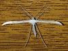 Vijfvingerige-Vedermot-1