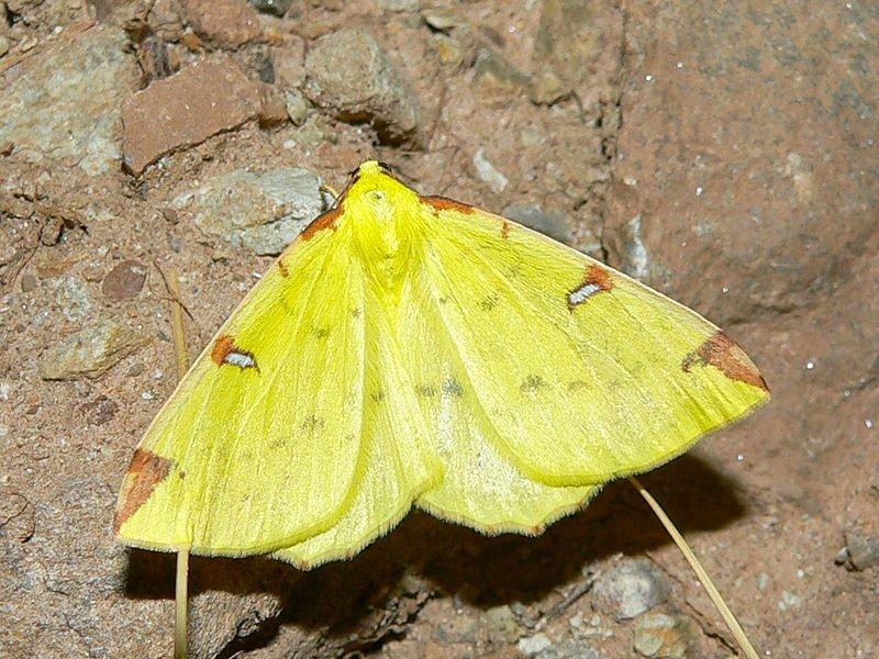 Hagedoornvlinder (Opisthograptis luteolata) (wikipedia)