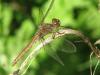Steenrode Heidelibel ( Sympetrum vulgatum)
