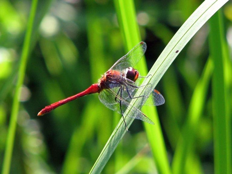 Bloedrode-Heidelibel-2