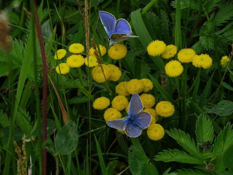 Iarusblauwtje-2