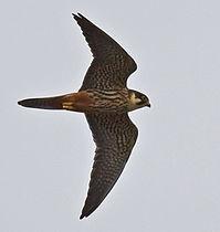 Valk (Falco subbuteo)