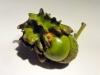 Knoppergal-Andricus-quercuscalicis-1