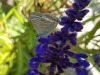 Tijgerblauwtje-scaled
